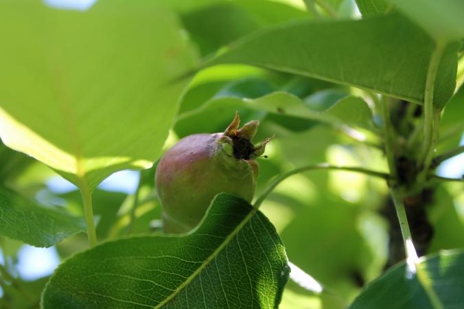 130615 Pear