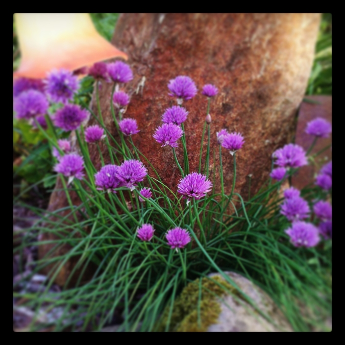 130616 Chives in bloom