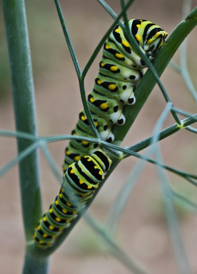 130707 Swallowtail Caterpillar (1)