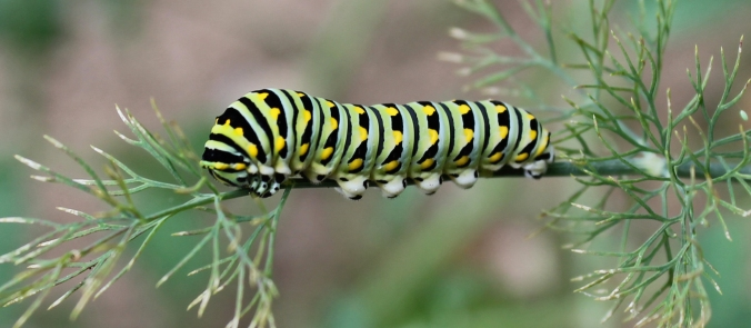 130707 Swallowtail Caterpillar (2)