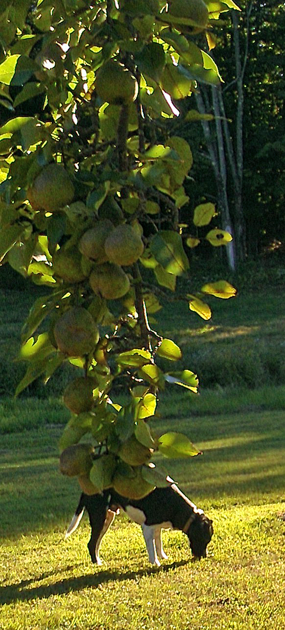 130908 Pear Tree Photobomb