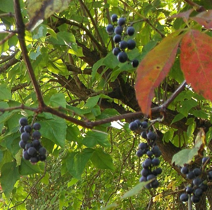 130913 Grapes (2)