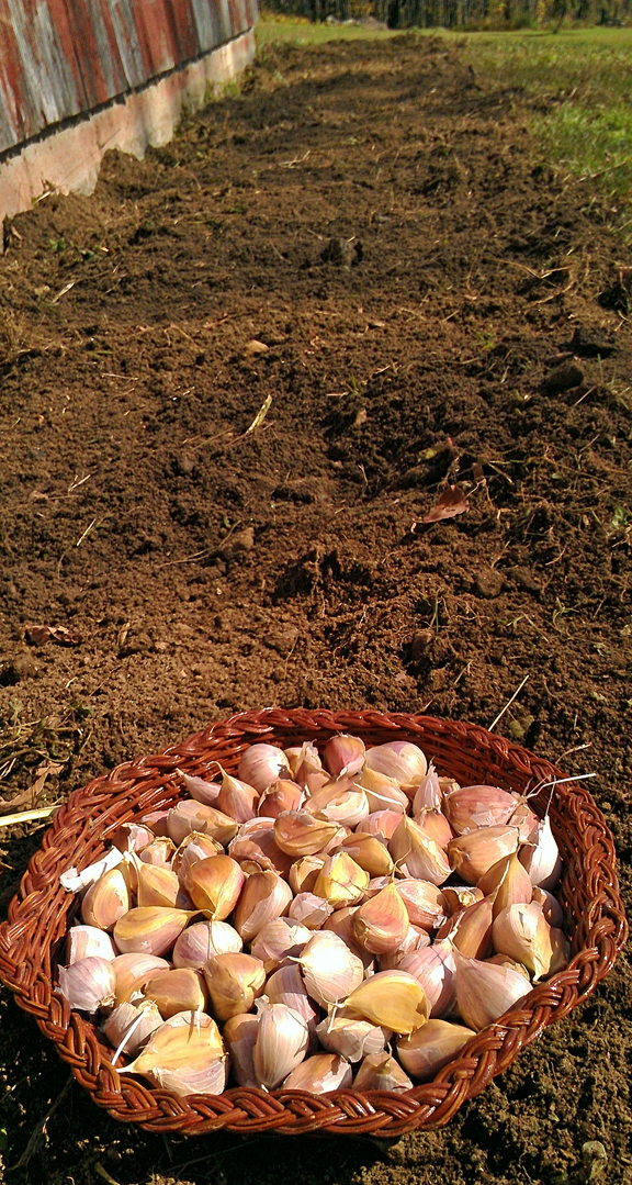 131013 Garlic Planting