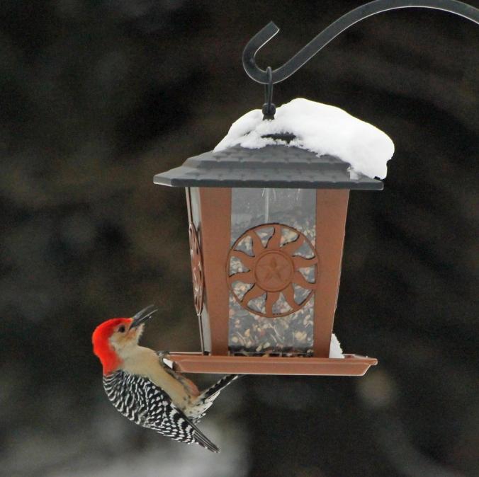 131214 Redbellied Woodpecker