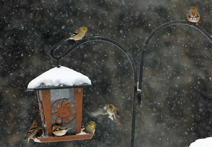 131226  Goldfinches (1)
