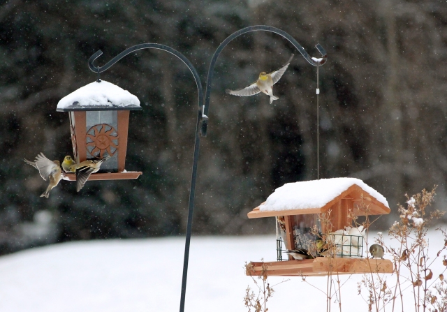 131226  Goldfinches (2)