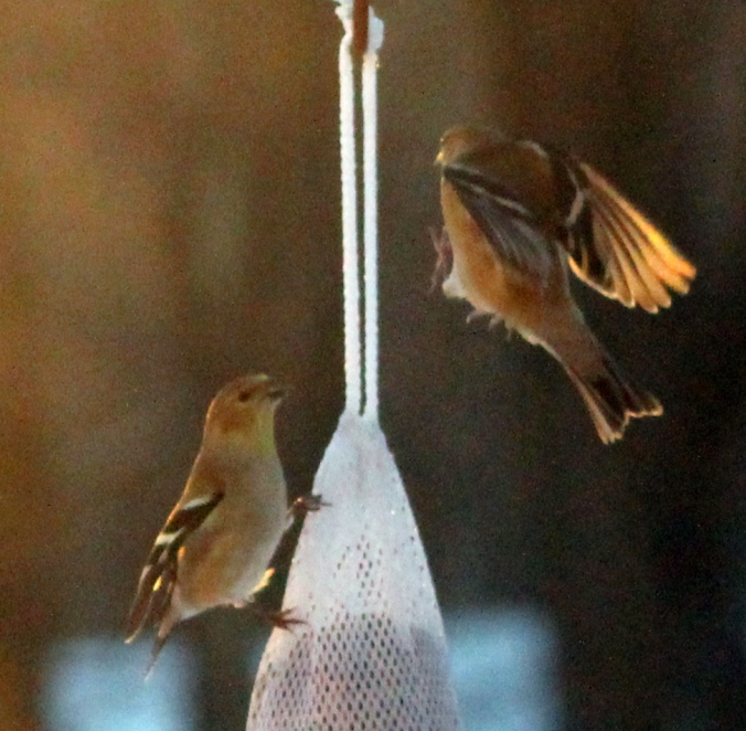 131228 Finches (5)