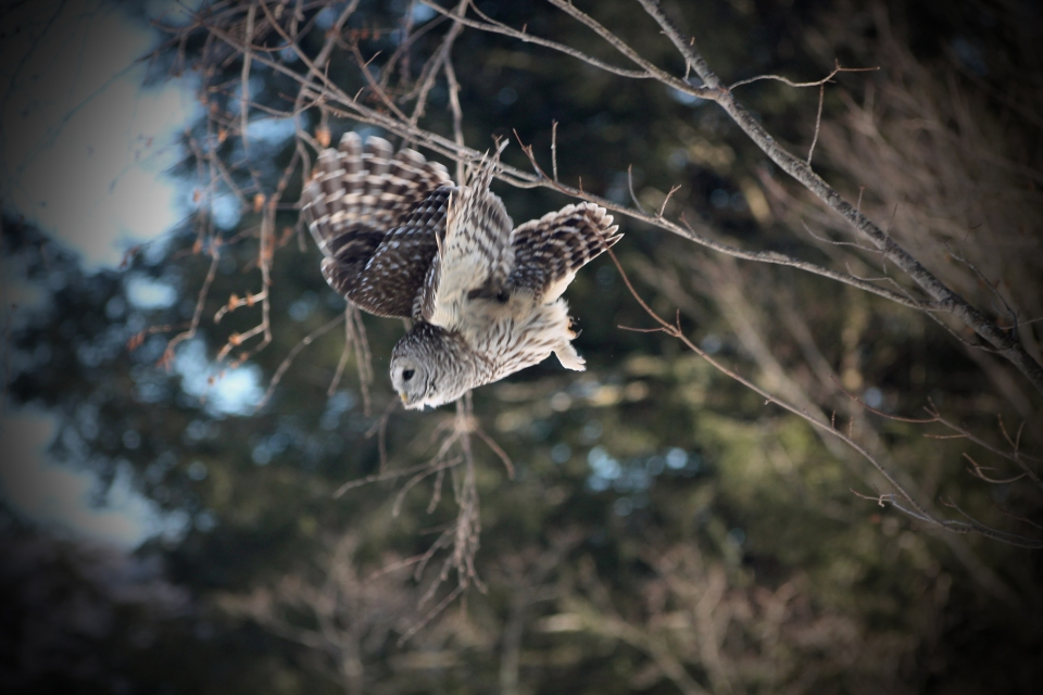 150228 Barred Owl (21)