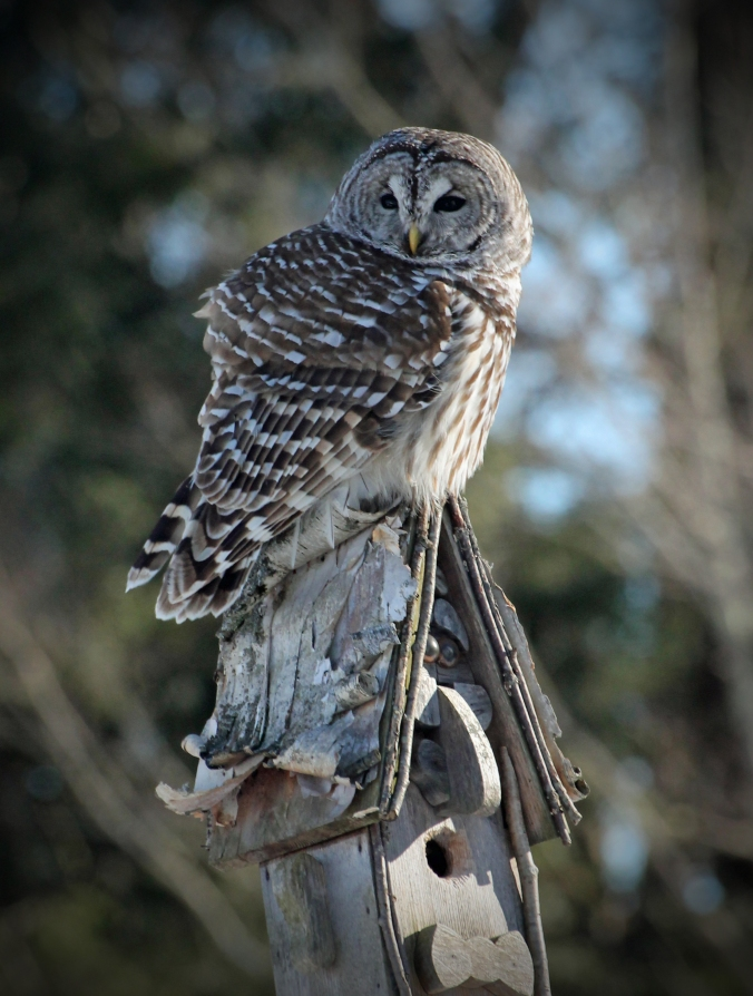 150228 Barred Owl (39)